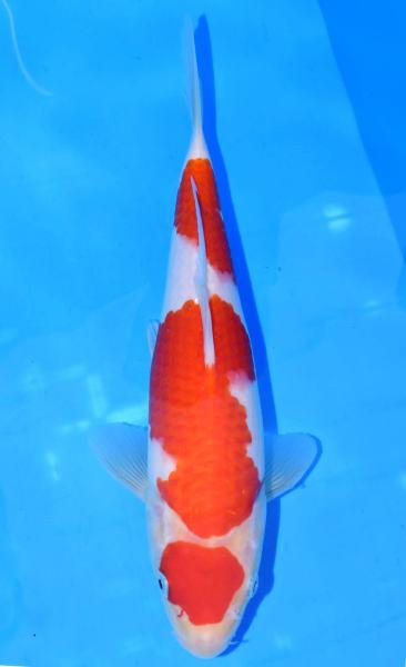 紅白 26cm